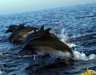 bali-tour-package-dolphin-02